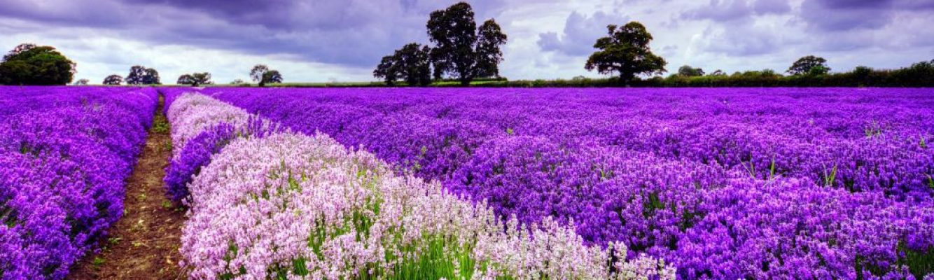 Great Uses for Lavender Essential Oil